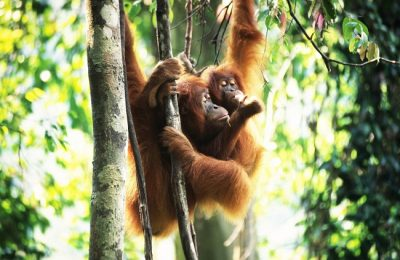 Two young sumatran orangutans hanging out