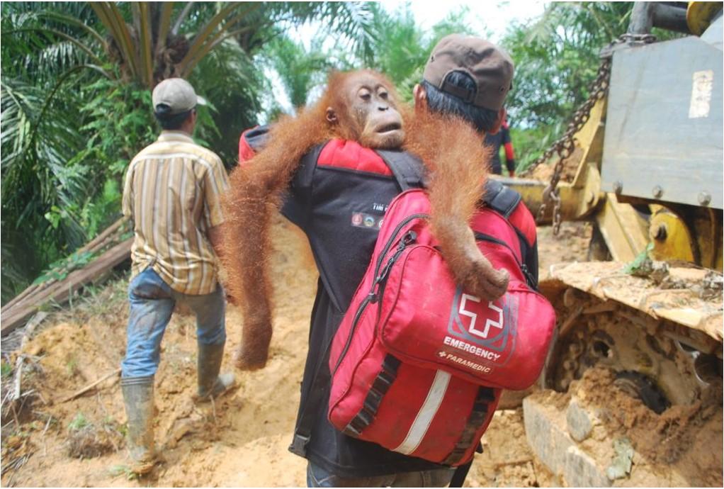 Evacuating a Sumatran Orangutan