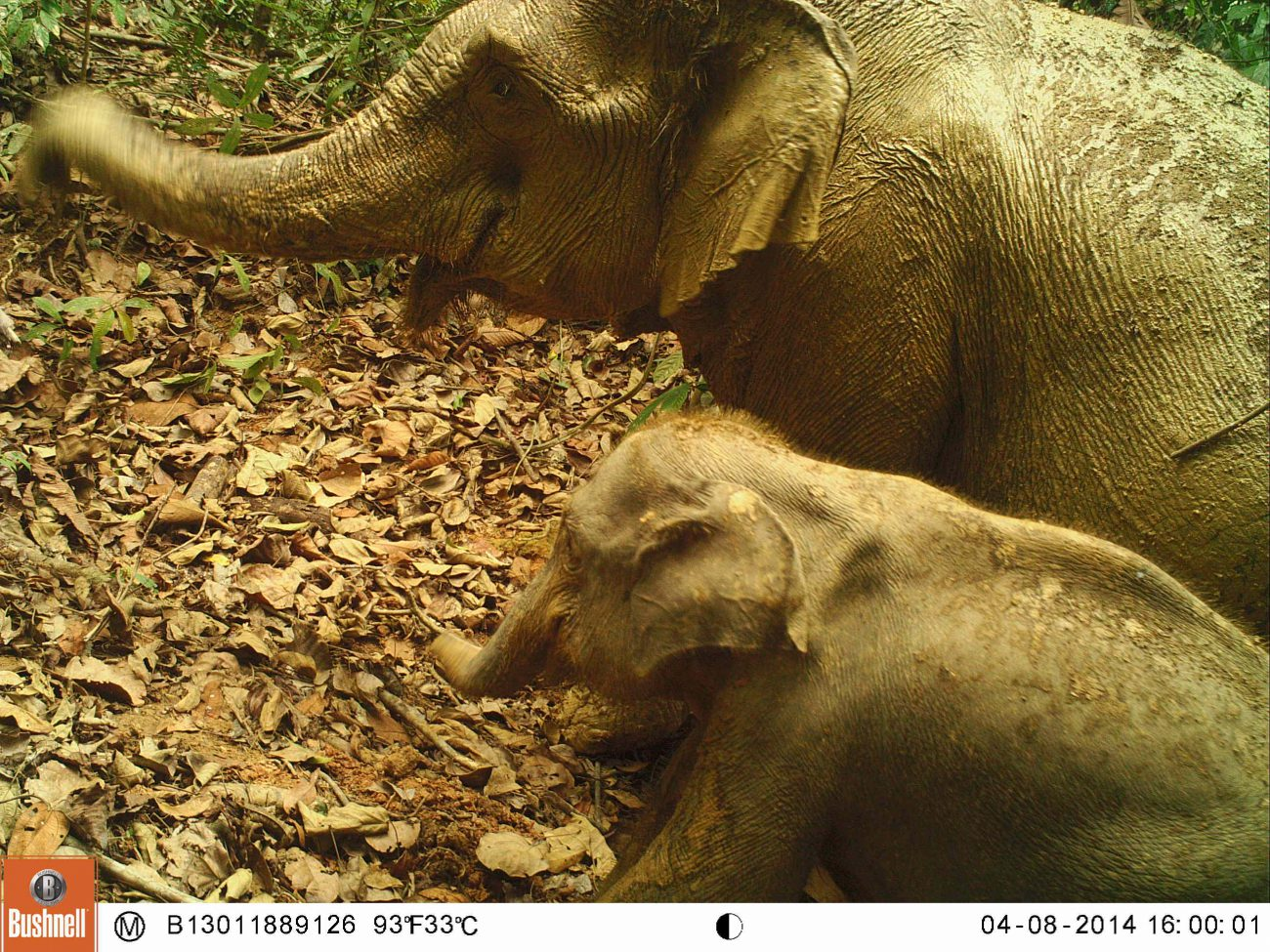 Elephants on camera trap