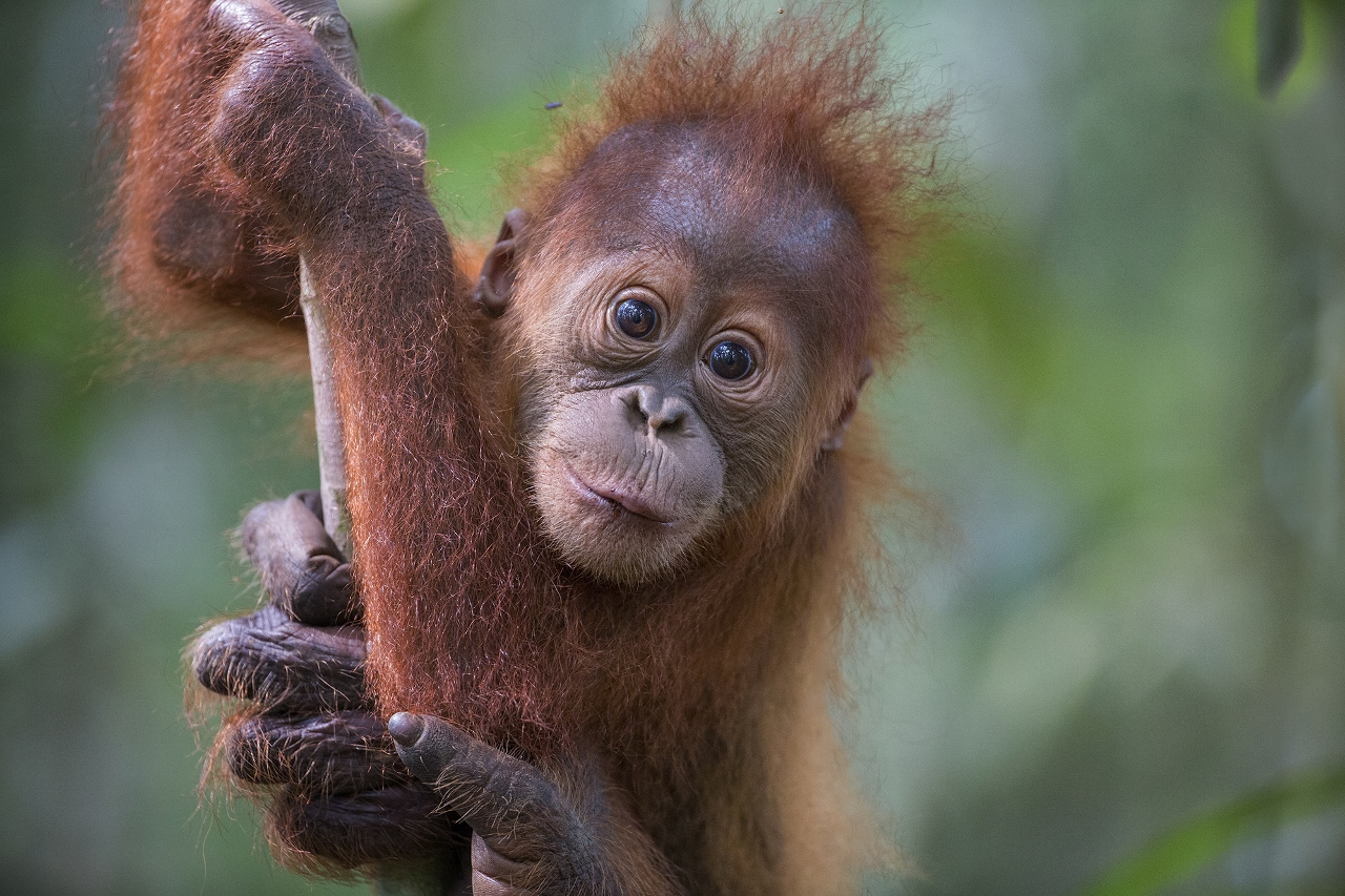 Baby Sumatran orangutan