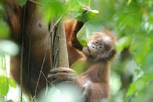 baby orangutan chewing a leaf