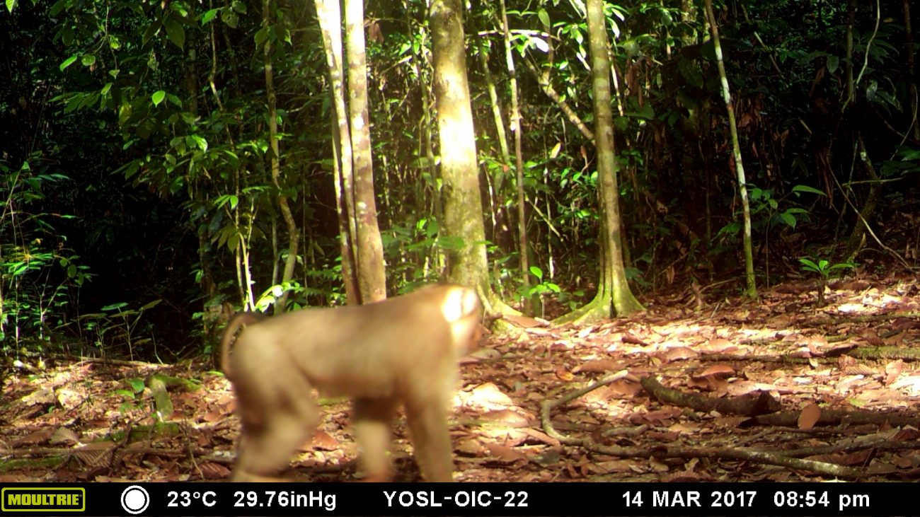 A macaque caught by the camera trap