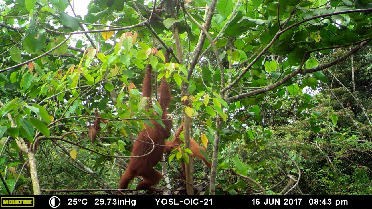 Orangutan caught in Camera trap