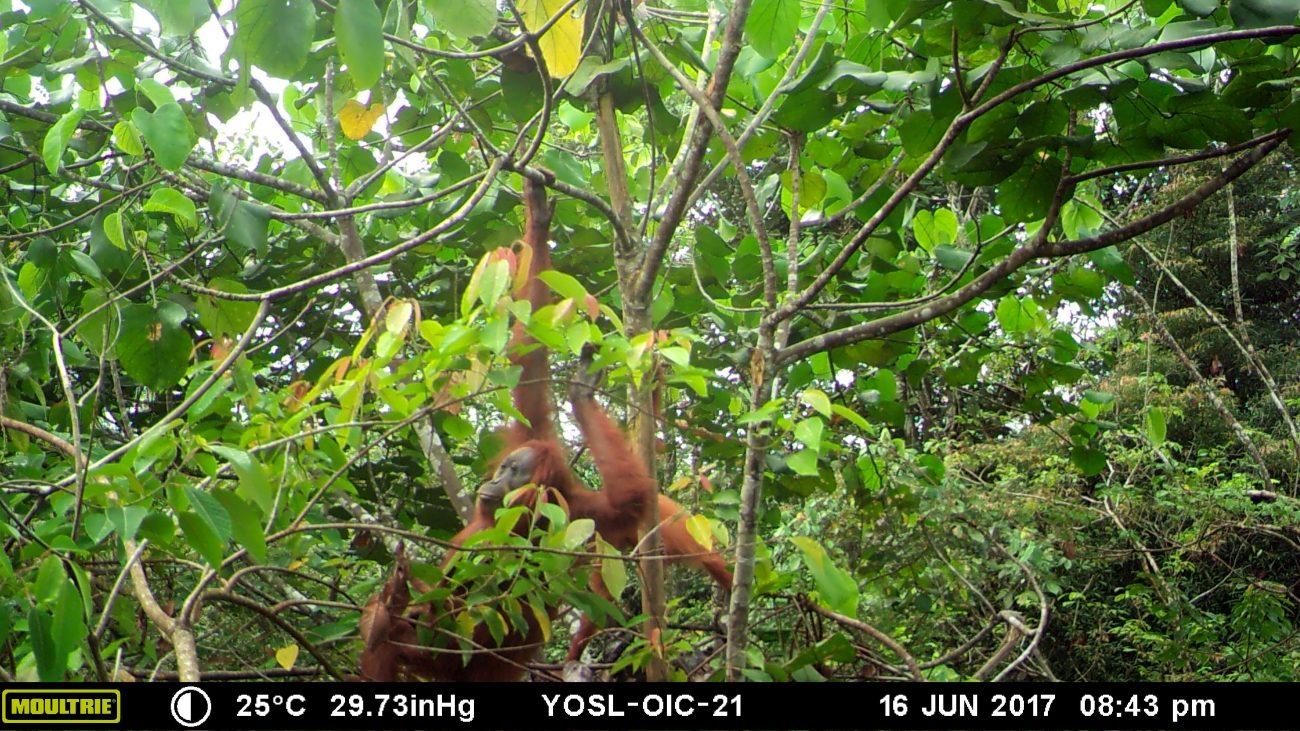 orangutan mother and baby climbing