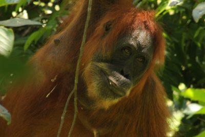 Sumatran orangutan in the Gunung Leuser National Park