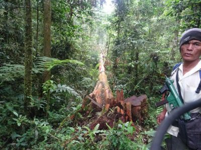 Park ranger in Leuser with illegally logged tree
