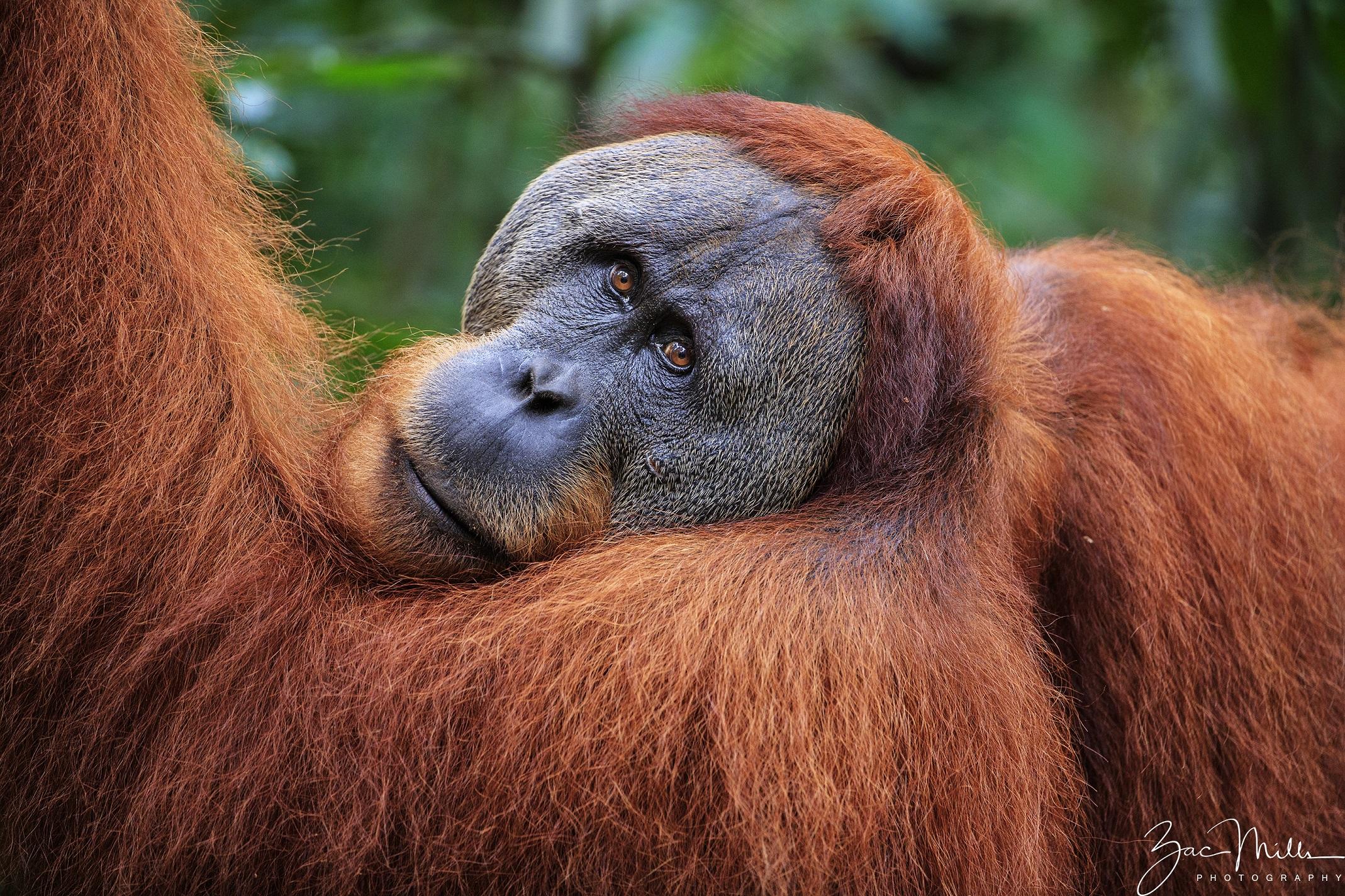 SOS – Sumatran Orangutan Society