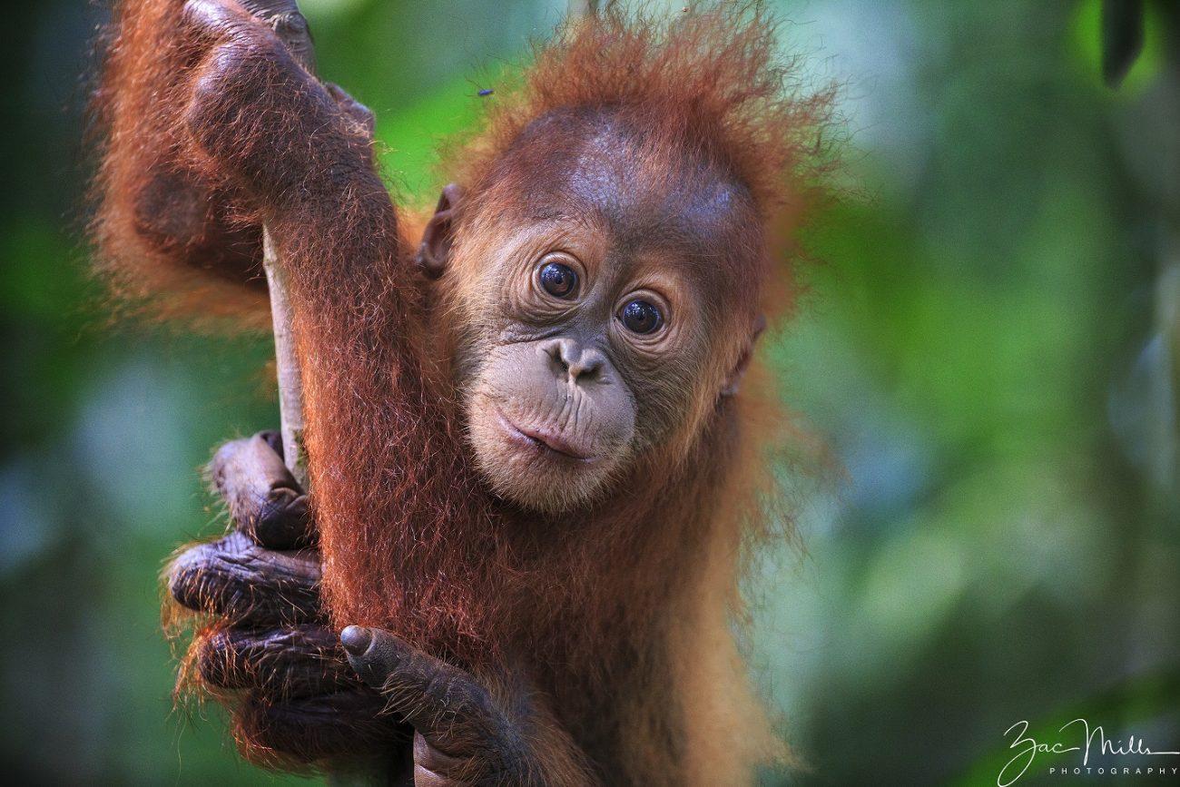 Orangutan Sumatera SOS – Sumatran Orang...