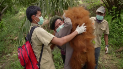 orangutan in Sumatra being rescued