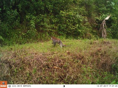 Macaque on camera trap in Cinta Raja III