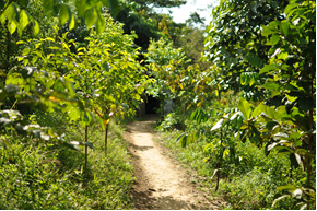 path through young trees at Bukit Mas
