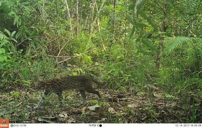 Camera trap photo Halaban