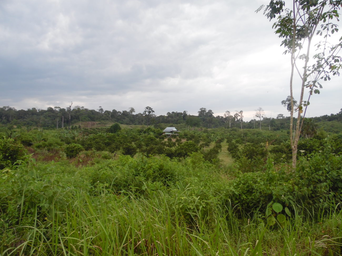 An area of young trees at a forest restoration site in Sumatra.