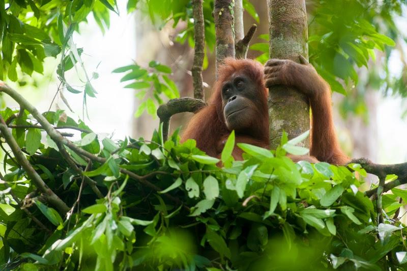 An orangutan in a nest