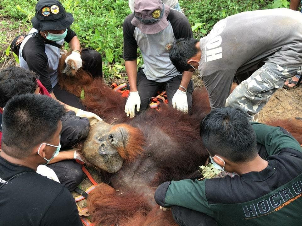 A team of people rescuing a male orangutan