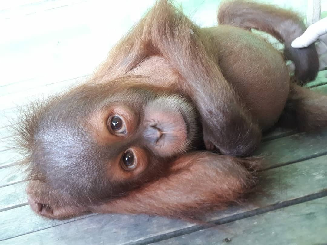 A baby orangutan lying on a wooden floor
