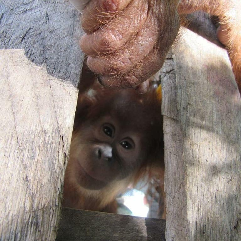 A baby orangutan peers through a wooden crate