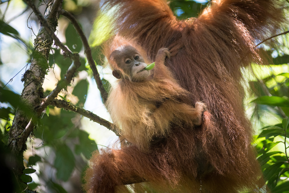 A female orangutan with a baby on her back