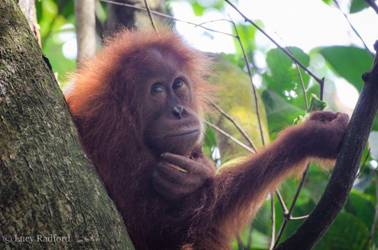 An orangutan sitting in a tree.