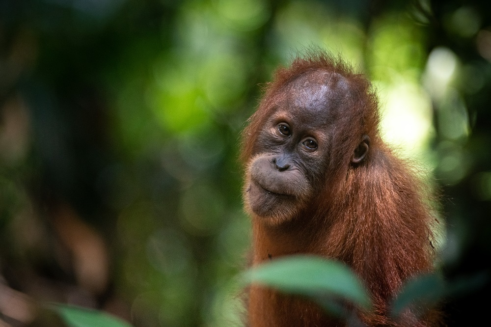 A young orangutan sits in the forest, looking towards the camera