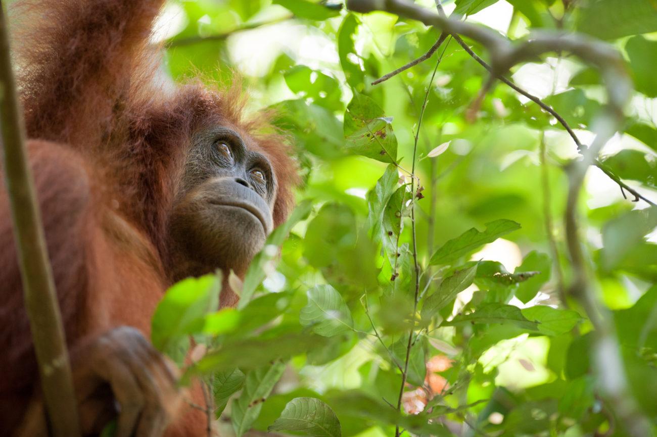 An adult female Sumatran orangutan in the forest.