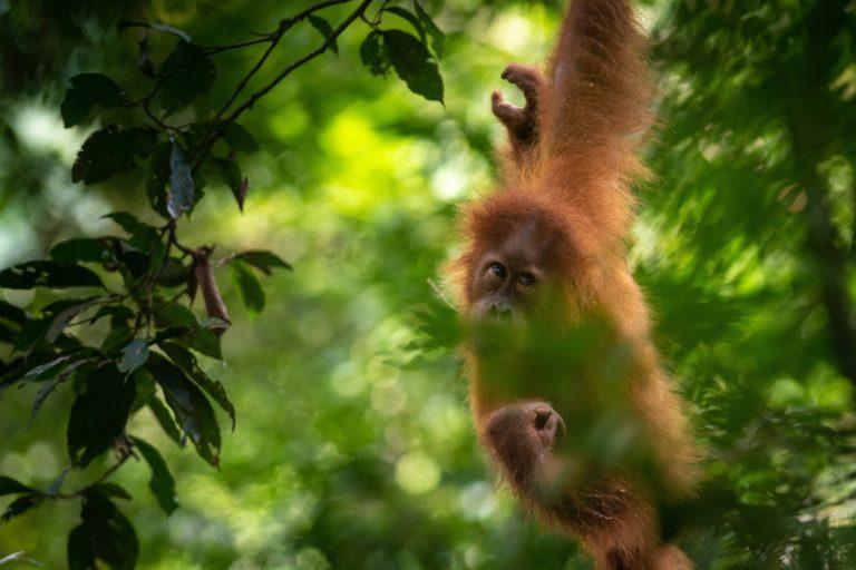 An orangutan travelling through the forest