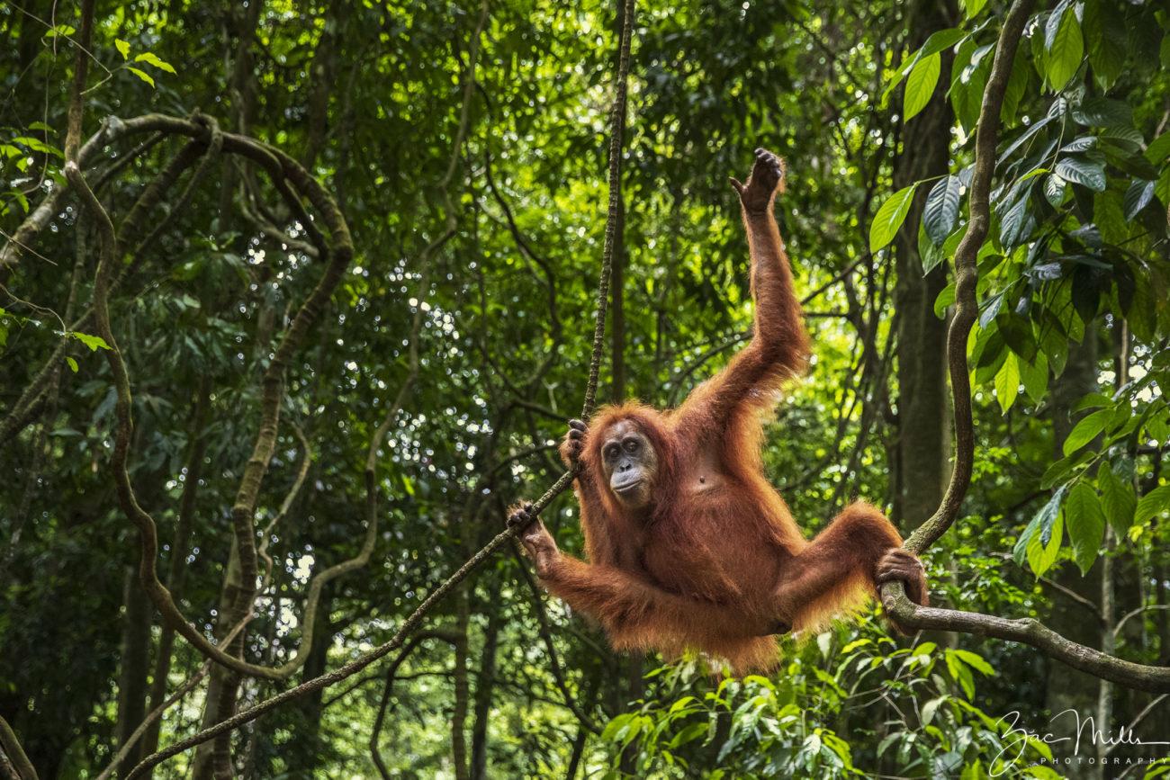 An orangutan swinging through the trees