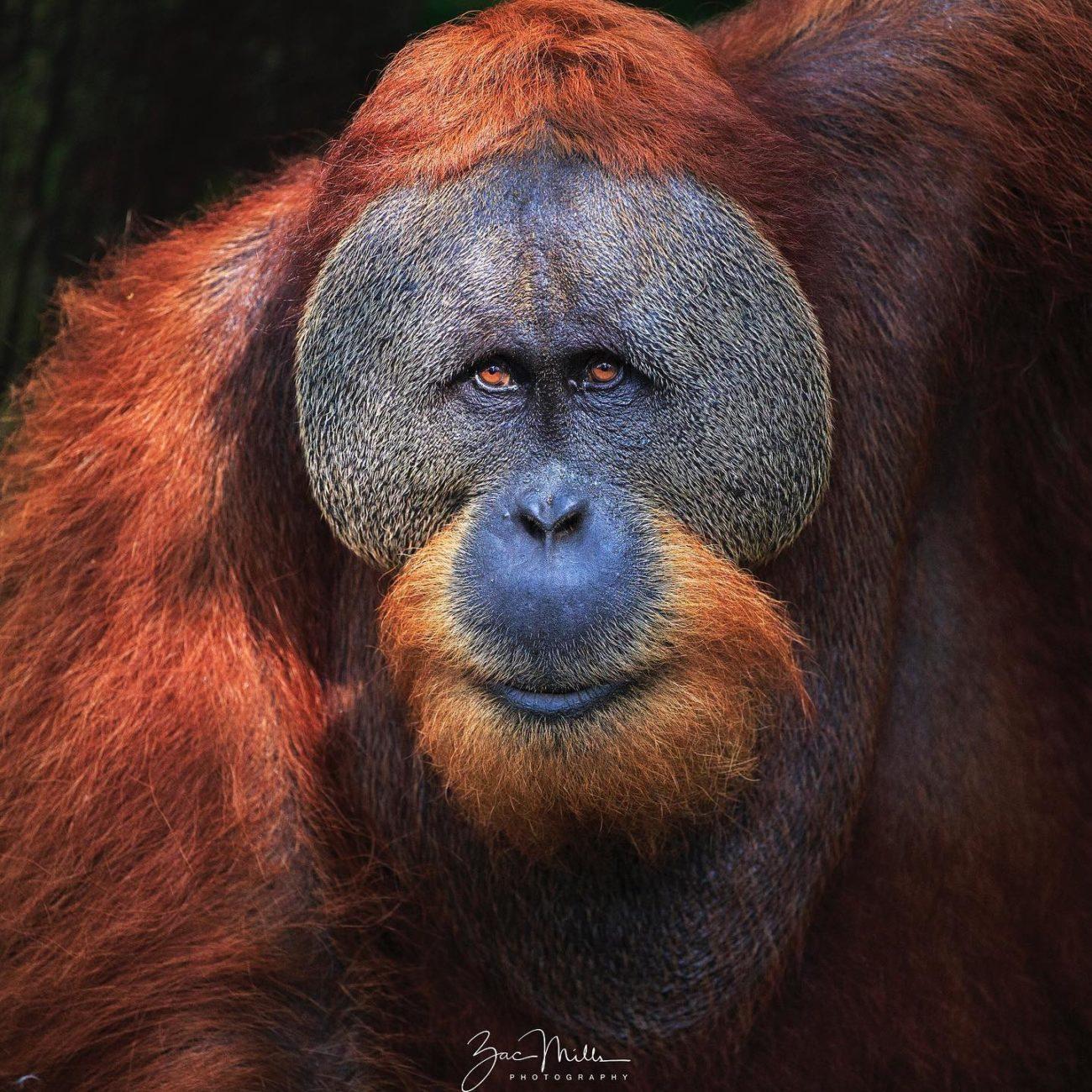 A male orangutan