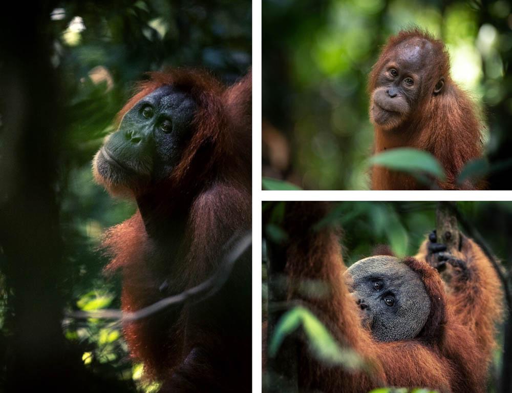 A composite image of three orangutans