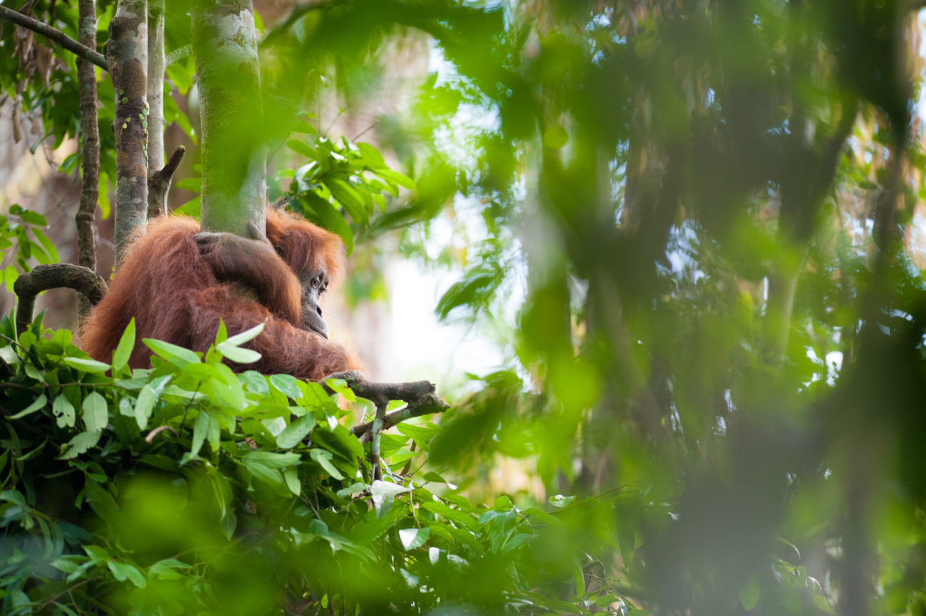 A female Sumatran orangutan sits in a newly made day nest as her baby plays in the background.